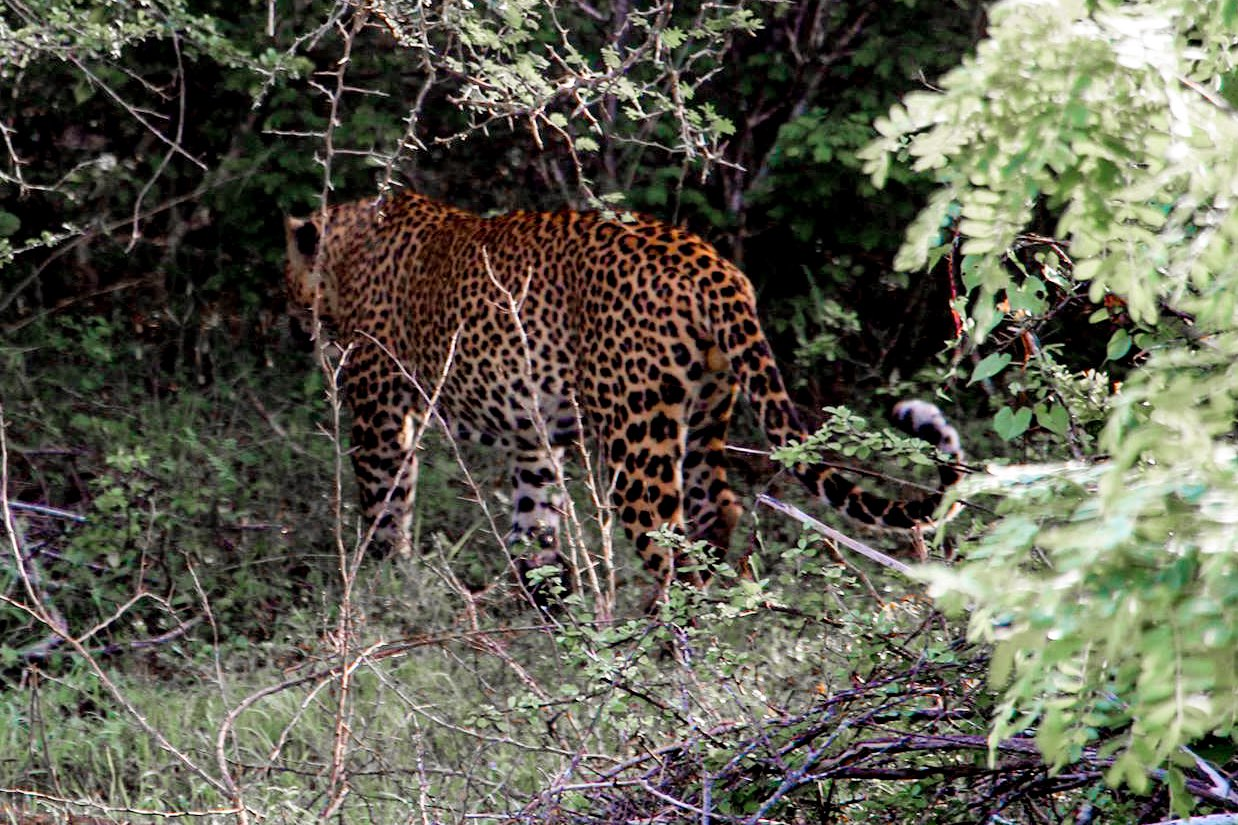 Leopard in the Yala National Park Sri Lanka